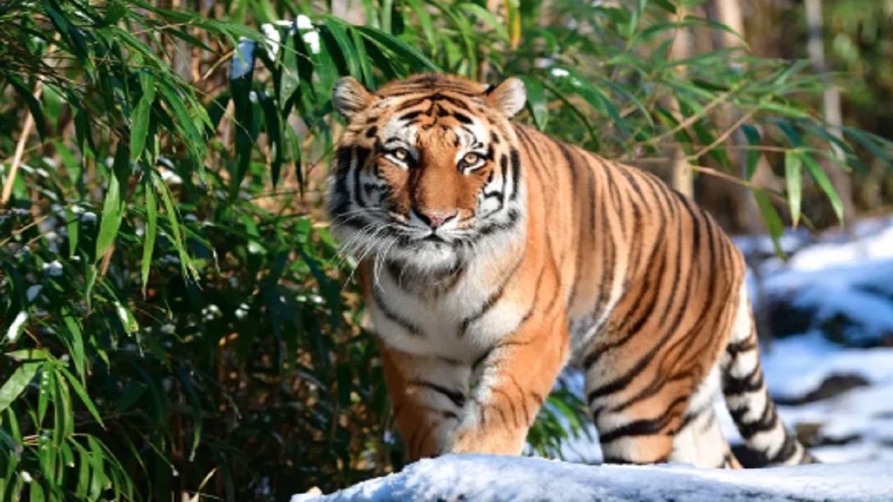 न्यूयॉर्क में बाघ में कोरोना वायरस का संक्रमण मिलने के बाद अलीपुर चिड़ियाघर  में बढ़ाई जाएगी निगरानी after corona virus infection in tiger in New York  Monitoring will be ...